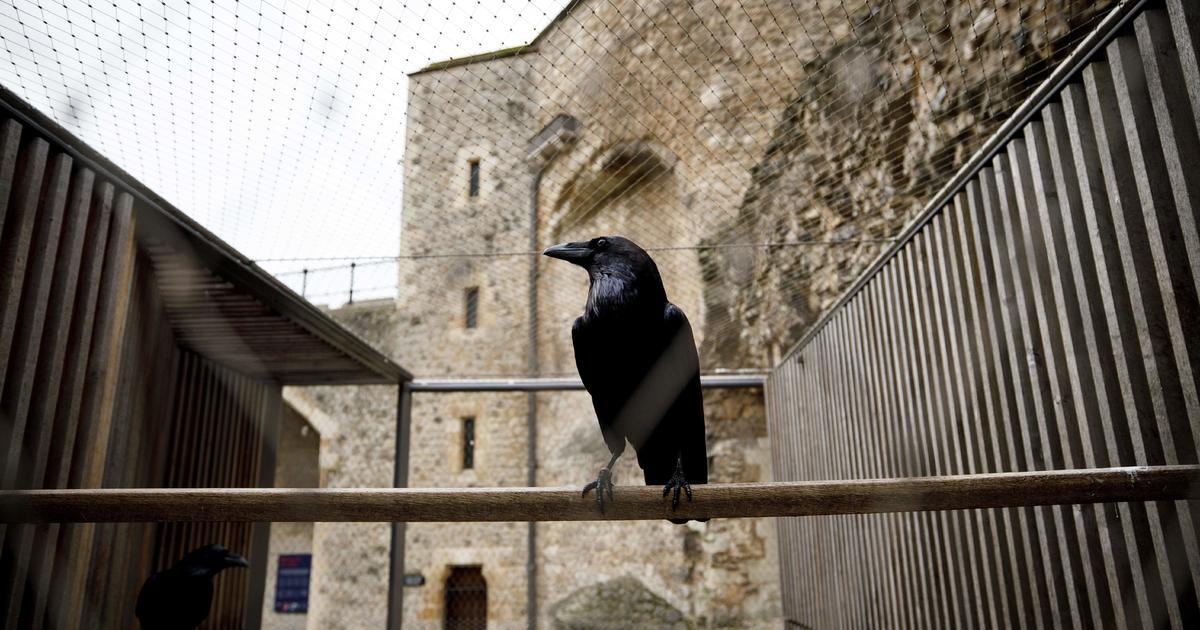 """Never today?  The crow """"Queen"""" of the Tower of London has disappeared and is feared dead"""